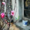 Tin tức - Ngắm vườn đào nghĩa địa độc nhất Hà Nội