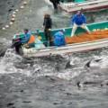 Tin tức - Ảnh ấn tượng: Tàn sát cá heo ở Nhật Bản