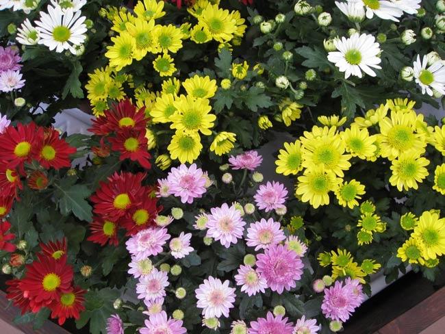 1. Hoa cúc  Hoa cúc là một trong những loài hoa nở rộ trong dịp tết Nguyên Đán. Sắc hương của nó tuy giản dị nhưng làm say lòng người, không những vậy, loại hoa này còn tươi rất lâu. Những bông cúc đại đóa vàng mang ý nghĩa về niềm vui, niềm hân hoan và những nụ cười thích hợp cho những ngày đoàn viên sắp đến.