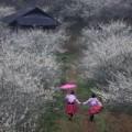 Đi đâu - Xem gì - Mộc Châu mùa này hoa mận nở trắng trời