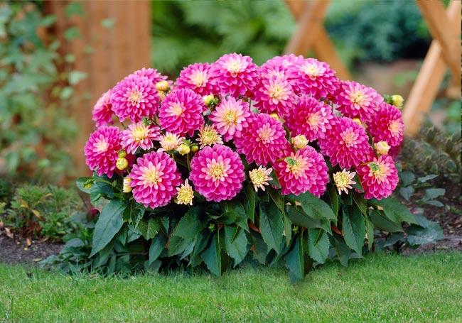 1. Hoa Thược dược  Hoa thược dược còn có tên là hoa mẫu đơn, tên khoa học là Dahlia variabilis Desf. Thuộc họ cúc (Asteraceae).    Hoa thược dược có màu sắc đẹp, mọc ở đỉnh cành và nách lá, cuống hoa dài. Hoa thược dược đẹp nhưng rất tiếc là không có hương thơm, là một trong những loài hoa được chọn trồng phổ biến.