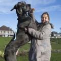 Tin tức - Anh: Chú chó khổng lồ cao 2,15m, nặng 70 kg