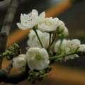 Tin tức - Ngắm hoa lê nở trắng muốt giữa lòng HN