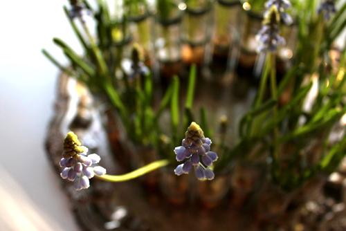 trong hoa chuong xanh chao xuan ruc ro - 10