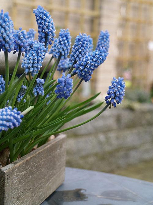 trong hoa chuong xanh chao xuan ruc ro - 11