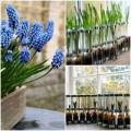 Nhà đẹp - Trồng hoa chuông xanh chào xuân rực rỡ