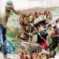 Tin tức - Cúm A/H5N1 lan rộng, gà vịt sống trôi nổi vẫn hút khách