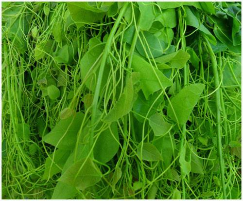 Ngọt lành rau đặc sản miền núi phía Bắc - 4