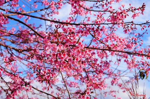 Mùa xuân về với mai anh đào Đà Lạt - 9
