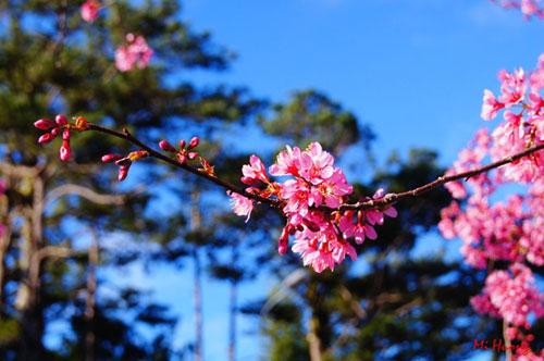 Mùa xuân về với mai anh đào Đà Lạt - 7