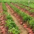 Mua sắm - Giá cả - Thương lái TQ gạ nông dân bán lá khoai lang non
