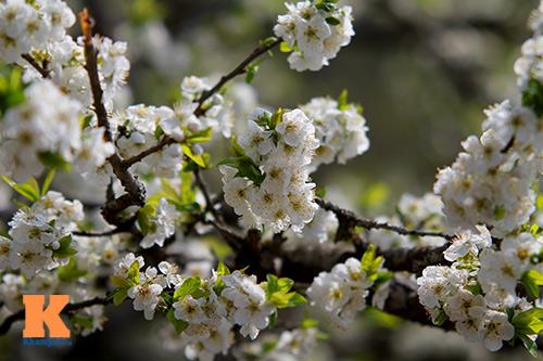 hoa man sapa khoe sac trong nang som - 7