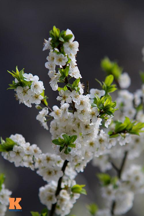 hoa man sapa khoe sac trong nang som - 6