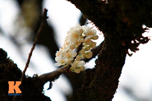 hoa man sapa khoe sac trong nang som - 4