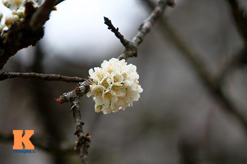 hoa man sapa khoe sac trong nang som - 9