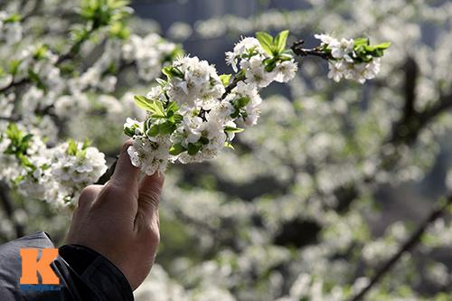 hoa man sapa khoe sac trong nang som - 11