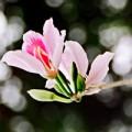 Eva Yêu - Mùa hoa ban luôn có anh