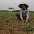 Mua sắm - Giá cả - Mang lo vì trót trồng ớt Trung Quốc