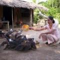 Mua sắm - Giá cả - Chăn nuôi gia cầm: Sợ rớt giá hơn dịch bệnh