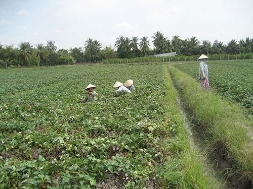 Người trồng khoai lang ngóng thương lái TQ-1