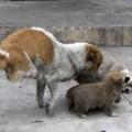 Tin tức - Kỳ lạ: Chó 2 chân sinh 4 con lành lặn