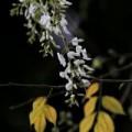 Tin tức - Hà Nội: Tháng Ba trắng muốt mùa hoa sưa