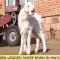 Tin tức - Tận mắt xem cừu 7 chân ở Trung Quốc