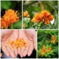 Tin tức - Đến Hà Nội ngắm hoa nhà Phật khoe sắc