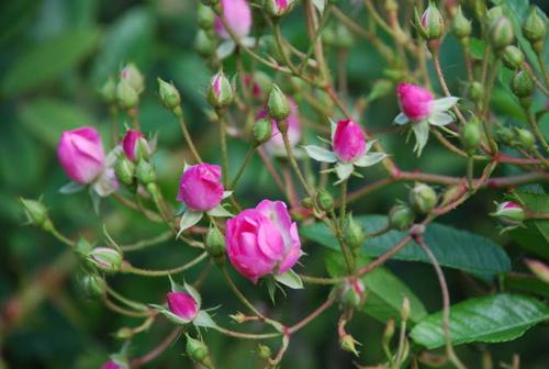 trong hoa hong tai nha tu... khoai tay - 7