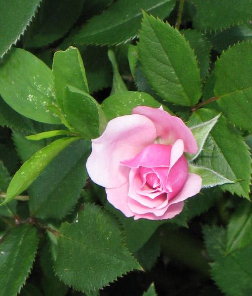 trong hoa hong tai nha tu... khoai tay - 9