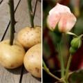 Nhà đẹp - Trồng hoa hồng tại nhà từ... khoai tây