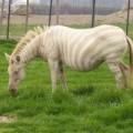 Xem & Đọc - Sẽ ra sao nếu ngựa vằn, công bị bệnh bạch tạng?