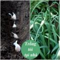 Nhà đẹp - Tự tay trồng tỏi tươi ngon tại nhà