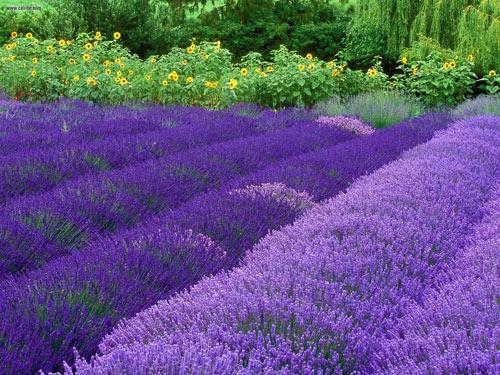 "sac tim lavender ""hop hon"" my nhan viet - 2"