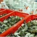 Mua sắm - Giá cả - Xuất khẩu tôm sang Nhật vướng chất cấm mới