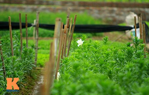 hoa loa ken khoe sac trong tiet troi thang tu - 2