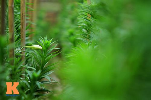 hoa loa ken khoe sac trong tiet troi thang tu - 11