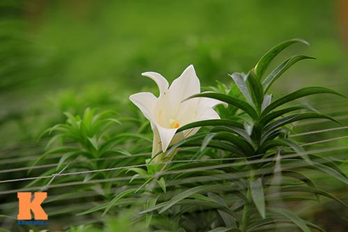 hoa loa ken khoe sac trong tiet troi thang tu - 5
