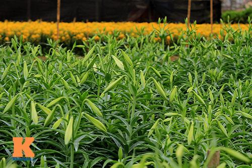 hoa loa ken khoe sac trong tiet troi thang tu - 10