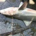 Tin tức - Cá mập trắng xuất hiện liên tiếp gần bờ biển Khánh Hoà