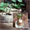 Nhà đẹp - Trồng khoai lang 'Thạch Sanh' từ củ