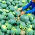 Mua sắm - Giá cả - Choáng với dưa hấu miền Tây giá 1.500 đồng/kg