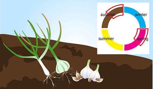 Bí quyết trồng và giữ tỏi tươi lâu hàng tháng trời-4