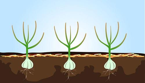 Bí quyết trồng và giữ tỏi tươi lâu hàng tháng trời-9