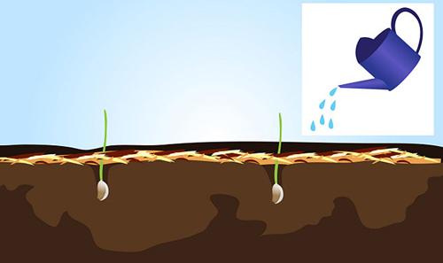 Bí quyết trồng và giữ tỏi tươi lâu hàng tháng trời-8