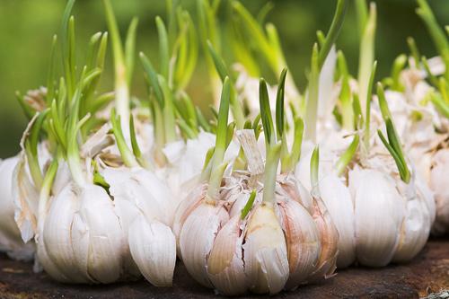 Bí quyết trồng và giữ tỏi tươi lâu hàng tháng trời-3