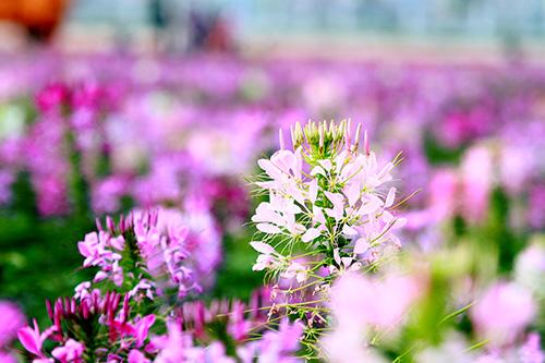 Đổ xô chụp ảnh tại thung lũng hoa Hồ Tây-2