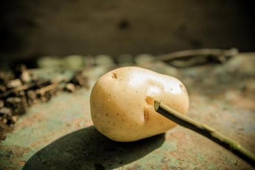 1 tuan trong hong lon nhanh, hoa nhieu nho khoai tay - 5