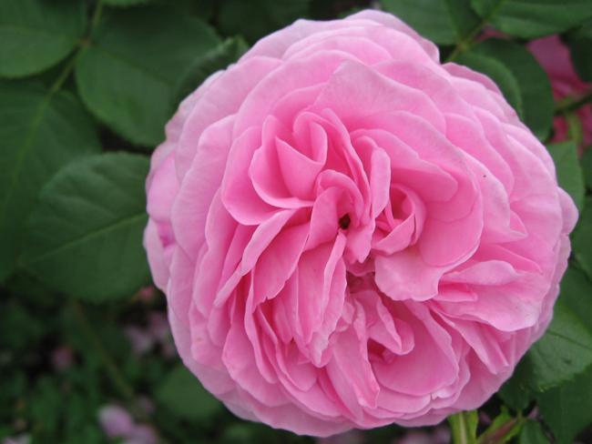 1. Louise Odier  Hoa hồng Louise Odier là một trong những loài hoa đẹp nhất thuộc dòng Bourbons. Những bông hoa nổi bậtvới mùi hương thơm ngátvà màu hồng ấm áp đáng yêu. Giống hồng Louise Odier sẽ cho hoa hết lứa này đến lứa khác trong điều kiện thời tiết ấm nóng. Louise Odier còn được yêu thích bởi rất dễ trồng cũng như kháng bệnh tốt.