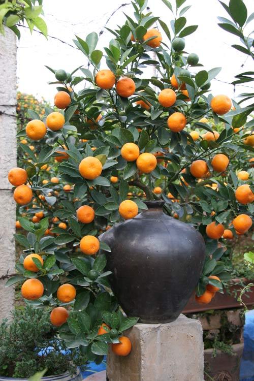 quat bonsai tien trieu cho dan sanh dieu me cay - 2